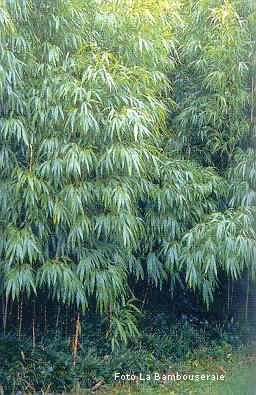 Siepe Di Bambu.Il Bambu Creare Barriere Siepi E Arredare Il Giardino