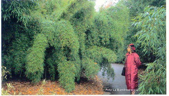Il bamb creare barriere siepi e arredare il giardino for Siepi da balcone sempreverdi