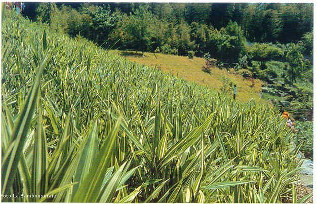 Piante perenni il bamb for Bamboo coltivazione