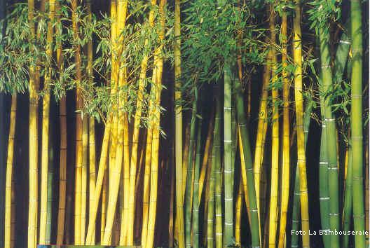 Vendita Bambu Milano.Il Bambu Creare Barriere Siepi E Arredare Il Giardino