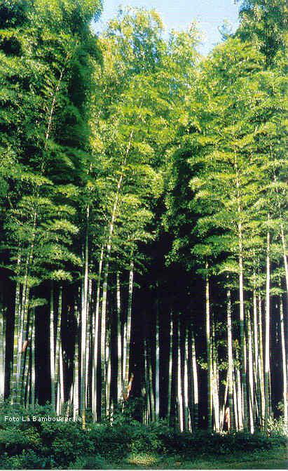 Variet Di Bamb.Il Bambu Creare Barriere Siepi E Arredare Il Giardino