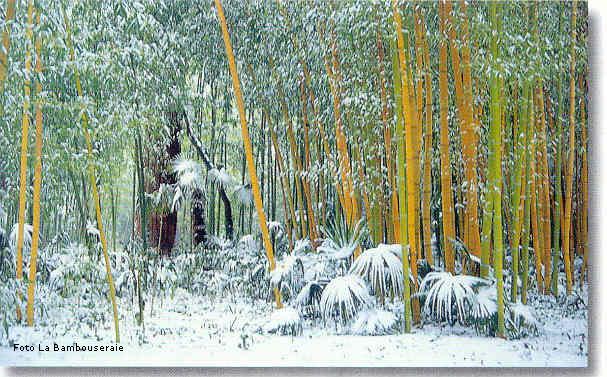 Vendita Piante Bambu Milano.Il Bambu Creare Barriere Siepi E Arredare Il Giardino