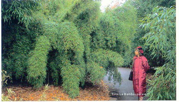 Siepe Di Bambu Prezzo.Il Bambu Creare Barriere Siepi E Arredare Il Giardino